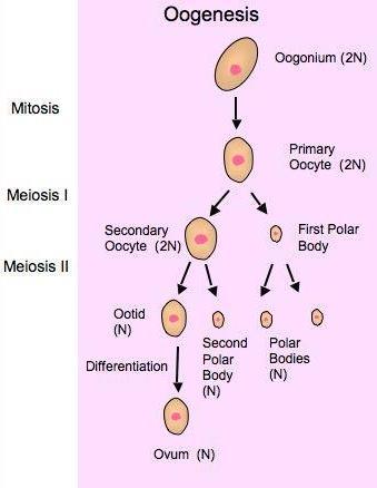 Proses Pembentukan Sel Telur (oogenesis) : proses, pembentukan, telur, (oogenesis), Catatan, PEMBENTUKAN, KELAMIN