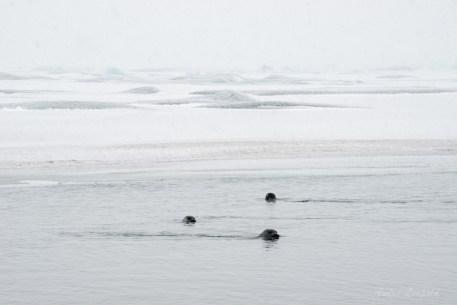 kritisch beäugende Robben