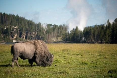 Bison und Geothermie
