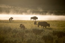 Bisons am Morgen