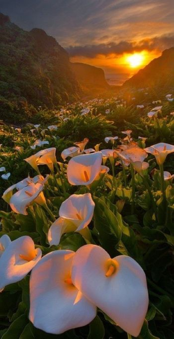 SunsetLillies