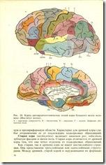 Центры в мозгу