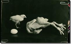яйцо-цыплёнок-кура