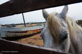 Uno dei cavalli della salina horse in salt pan Saline Calcara Nubia
