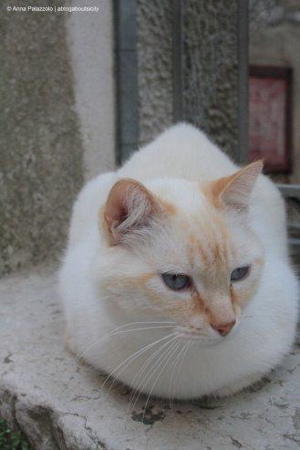 Soft white cat in Erice