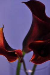 calla lilies 2