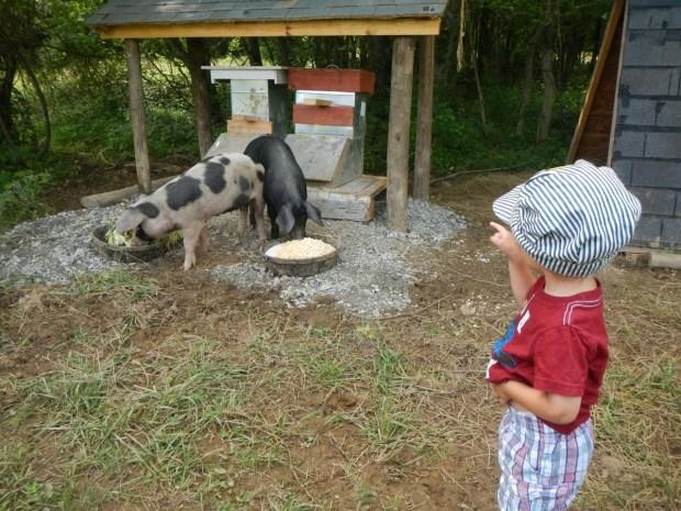 We fed pigs