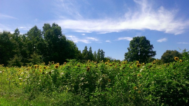 We stopped at a Virginia Wildlife Management Area (WMA) where the state grew sunflowers on public land for hunting crop cover.