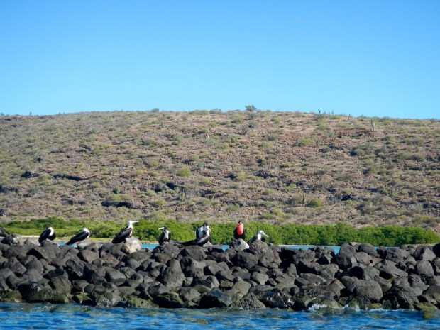 We cruised by the southern portion of the bay where hundreds of frigate birds were resting on a rock jetty