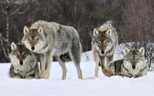 la-meute-slack-aborder-seduire-groupe-loups-gris-neige