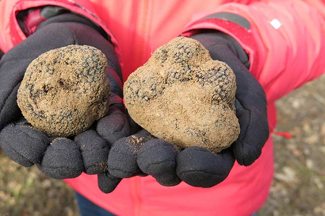When visiting Barcelona, join Aborígens truffle hunting tours