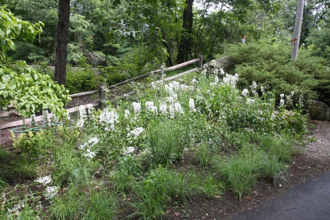 Meadow Street in Amherst MA - Landscape Design - plants