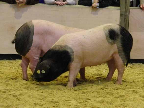 800px-Porc_basque_SDA2010