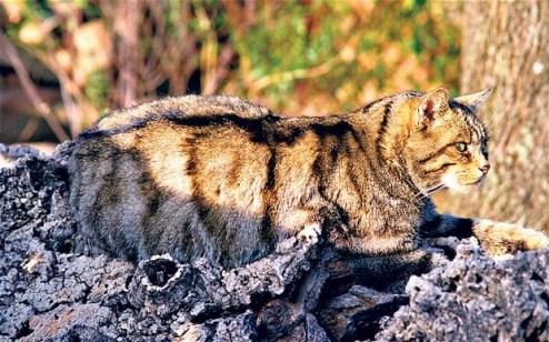 wildcat-Spain_2815143b