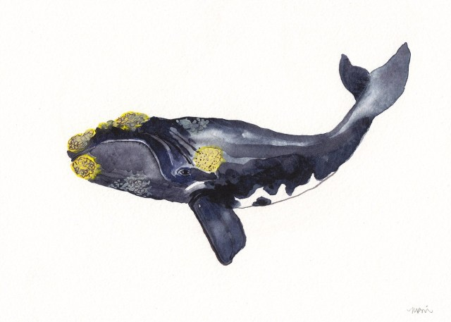 Basque whale; illustration made by the American artist (Dover, New Hampshire) Michelle Morin. You can see her work (and acquire it) here .