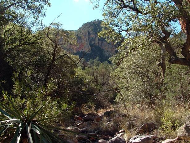 Oaks in National Park (courtesy skyislandalliance.org)