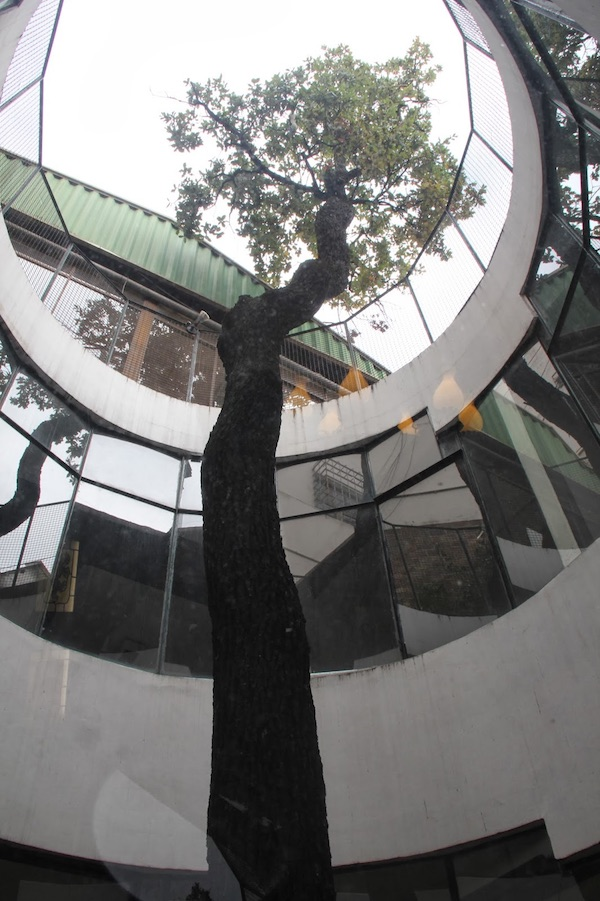 The sapling of the Tree of Guernica at the Laurak Bat Center of Buenos Aires (courtesy Gorka Berasain)