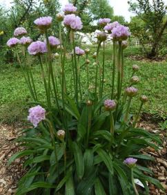 'Armeria euscandiensis', an herb endemic to the Basque coast, with a very Basque name.