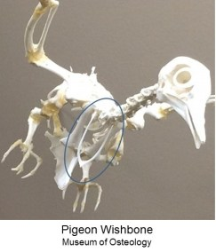 Copy of 17-11-21 wishbone images pigeon