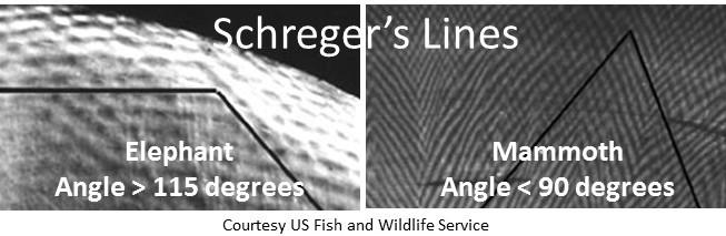 17-12-19 Schreger's lines