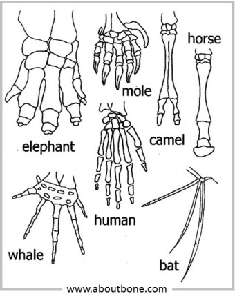 18-09 comparative hand anatomy for Pinterest