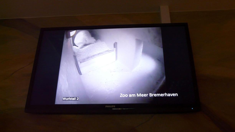 Video der Eisbären Geburt