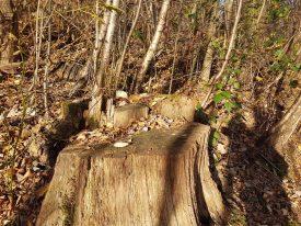 Baumstumpf im Reinhardswald bei Hann. Münden