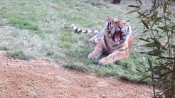 "Tiger ""Aljoscha"""