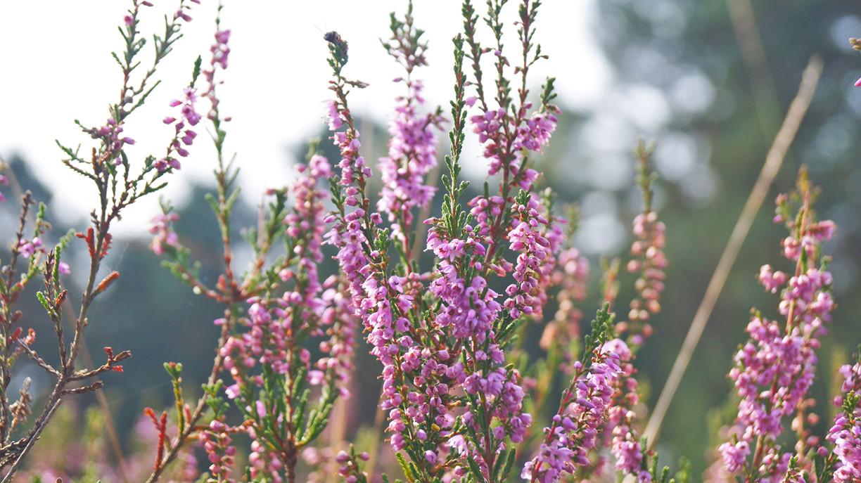 Heideblüte in der Gifhorner Heide