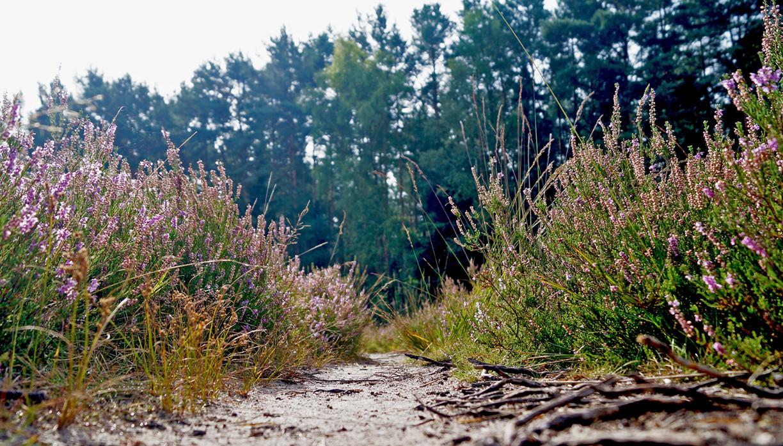Weg in der Gifhorner Heide mit Heidepflanzen links und rechts