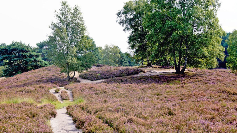 Heidefläche der Gifhorner Heide mit Wegen und Birken