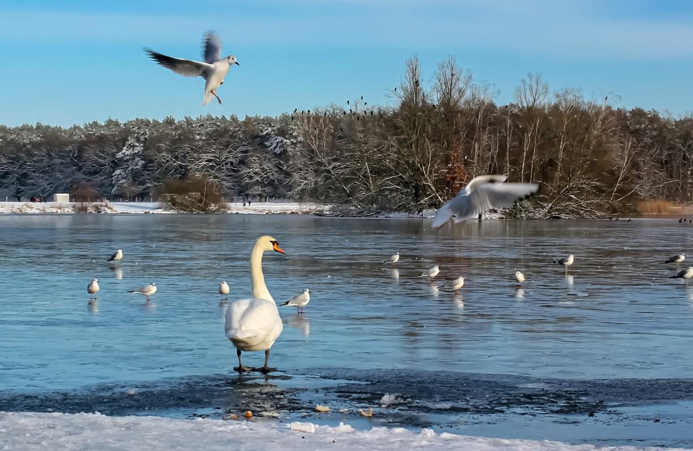 Schwan und Möwen am winterlichen Gifhorner Schlosssee