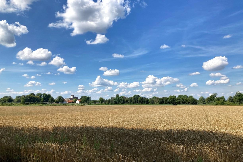 Ein Getreidefeld im Sommer, am Horizont ein grüner Streifen aus Bäumen unterbrochen von einem Gebäude. Der strahlendblaue Himmel ist voller Schäfchenwolken.