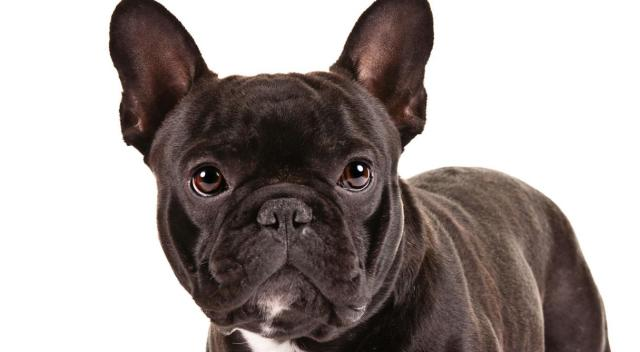 7 dogs that look like pugs | about doggies