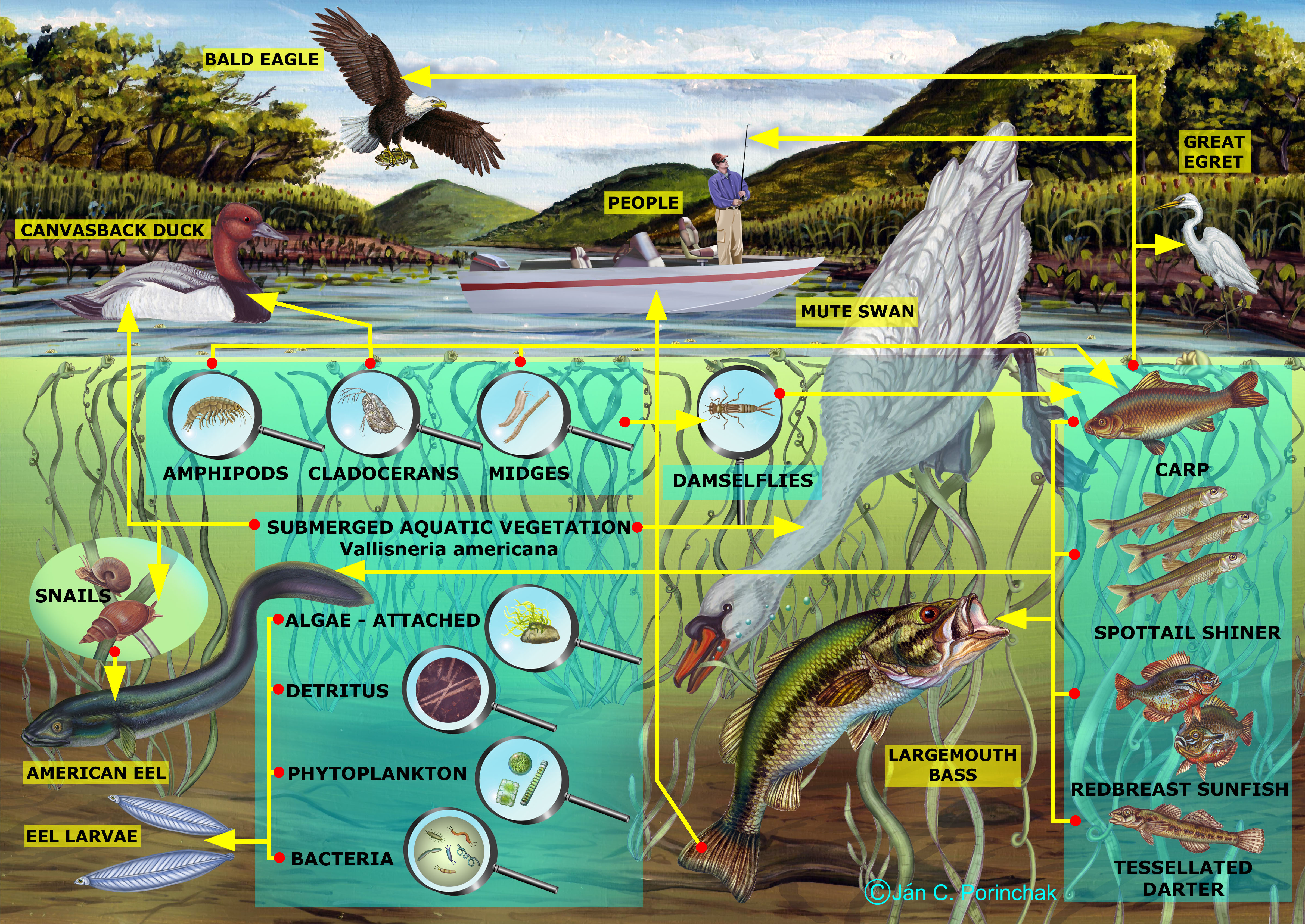 freshwater biomes food chain diagram xlr wiring the gallery for gt biome