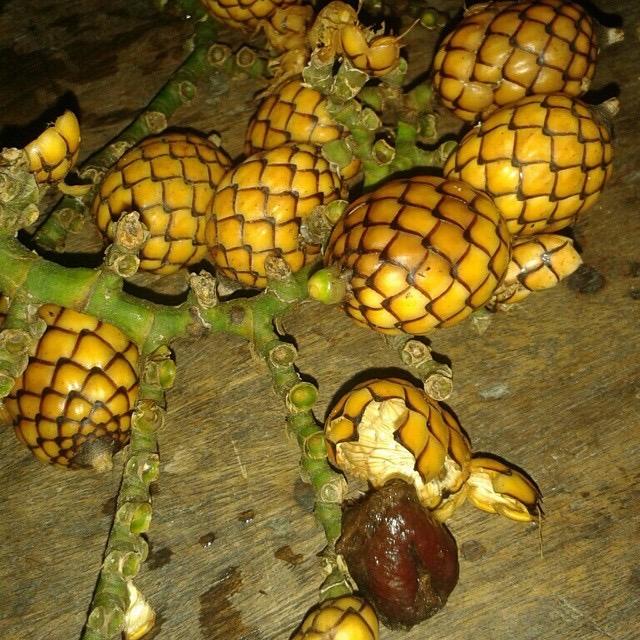Alimuran (Snake Fruit)