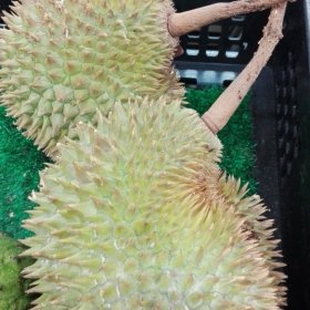 Durian Fruit from Davao, Philippines