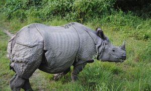 One-horned Rhino seen at Bardia