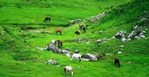 Horses grazing at Khaptad
