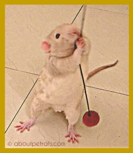 about pet rats, pet rats, pet rat, rats, rat, fancy rats, fancy rat, ratties, rattie, pet rat care, pet rat info, pet rat information, pet rat play, pet rat playing