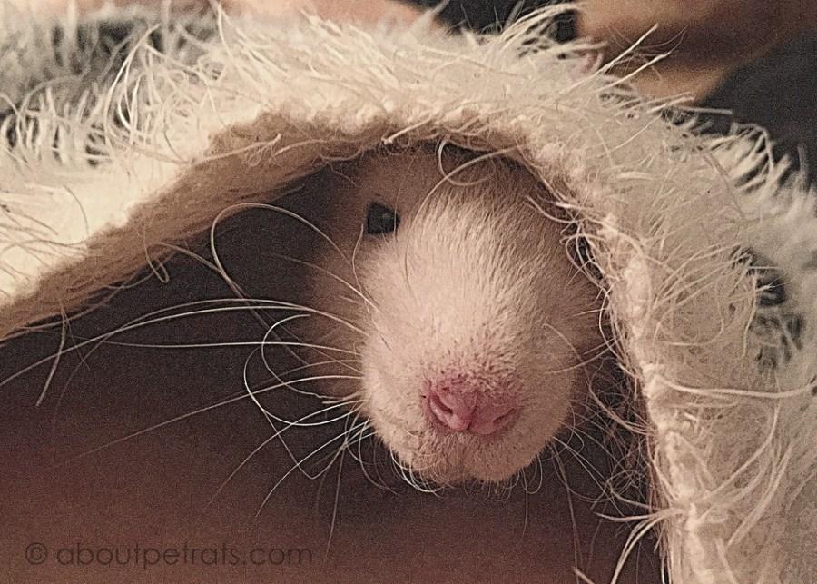 about pet rats, pet rats, pet rat, rats, rat, fancy rats, fancy rat, ratties, rattie, pet rat care, pet rat info, pet rat information, curly pet rat whiskers