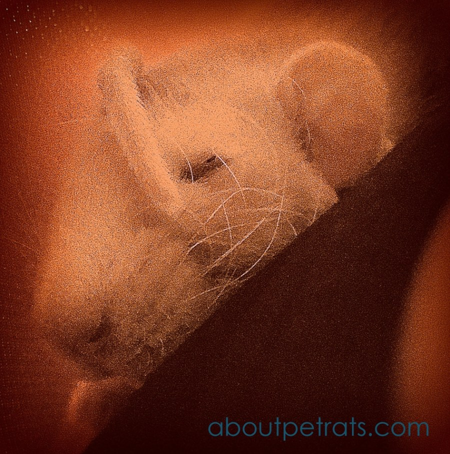 about pet rats, pet rats, pet rat, rats, rat, fancy rats, fancy rat, ratties, rattie, pet rat care, pet rat info, pet rat information, pet rat tail, pet rat tails