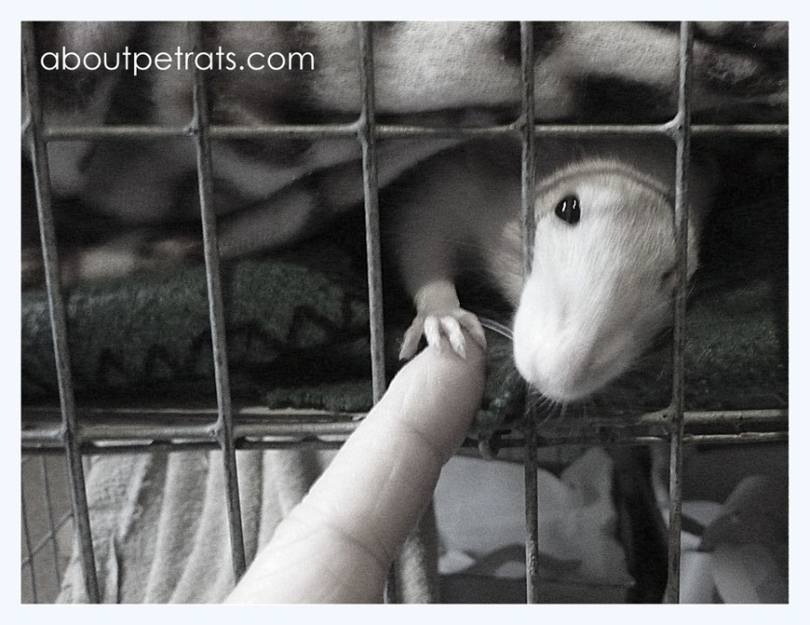 pet rat's hand reaching out to human's finger