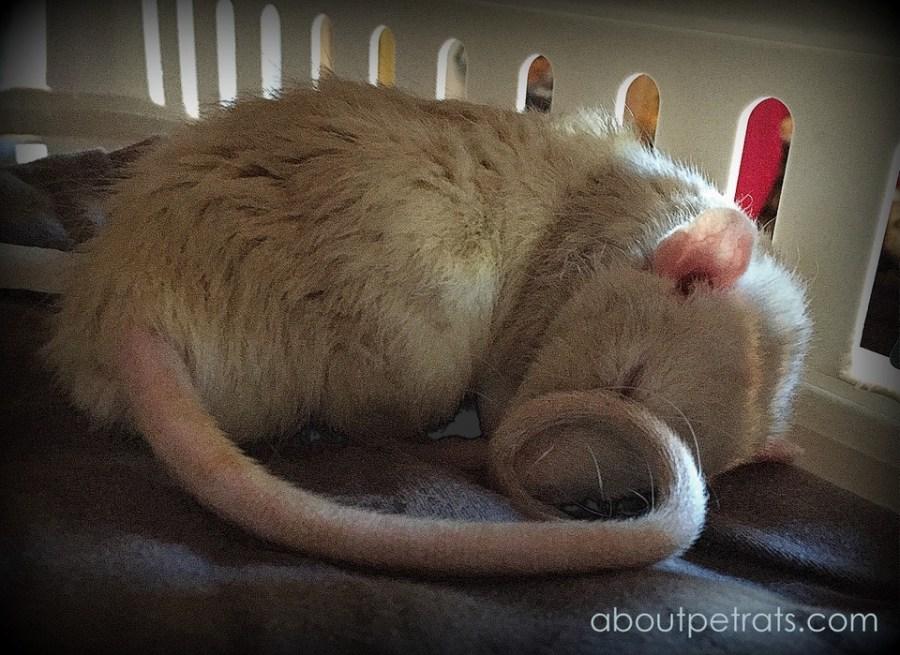 about pet rats, pet rats, pet rat, rats, rat, fancy rats, fancy rat, ratties, rattie, pet rat care, pet rat info, pet rat information, pet rat tail, pet rat tails