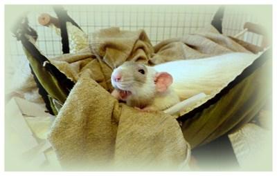 pet rat hammock, pet rat hammocks, pet rat clean cage, about pet rats, pet rats, pet rat, rats, rat, pet rat care, pet rat health, pet rat cage, fancy rats, fancy rat, ratties, rattie, pet rat info