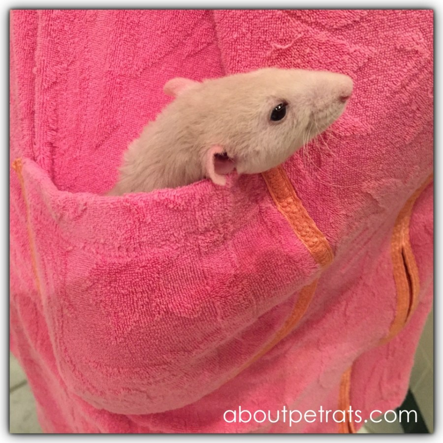 about pet rats, pet rats, pet rat, rats, rat, fancy rats, fancy rat, ratties, rattie, pet rat care, pet rat info, pet rat information, pocket pet, pet rat in pocket