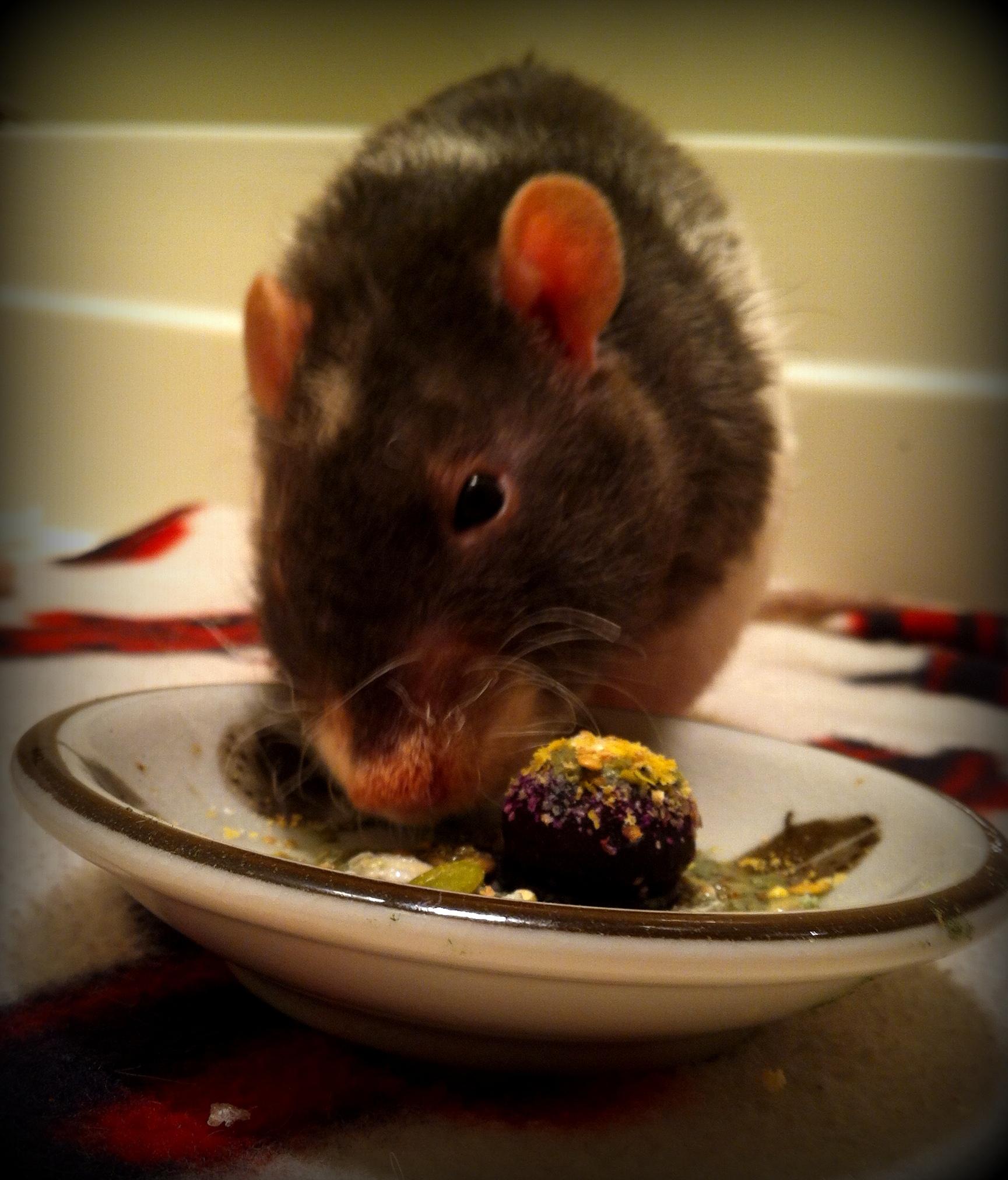 Nutrition | About Pet Rats