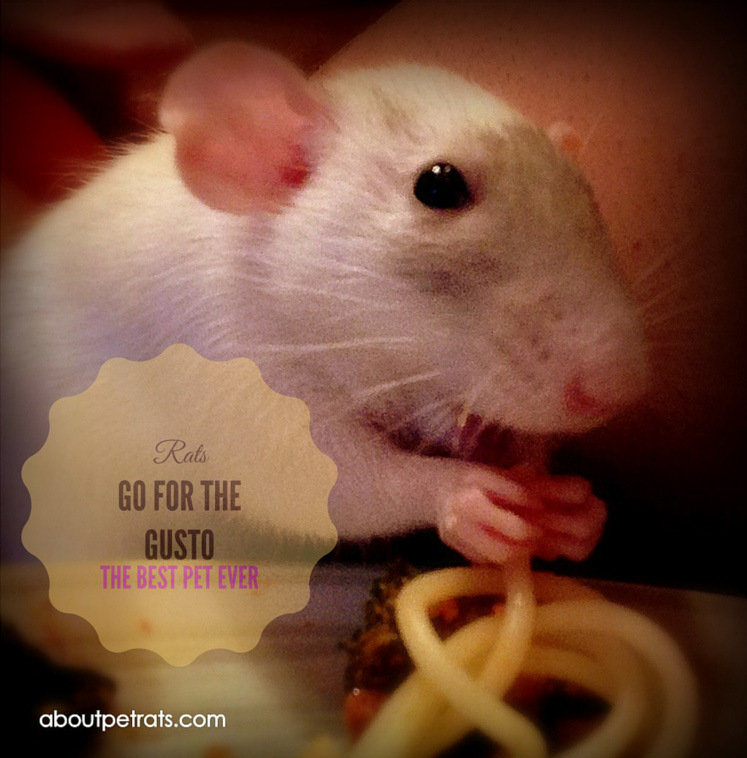 about pet rats, pet rats, pet rat, rats, rat, fancy rats, fancy rat, ratties, rattie, pet rat care, pet rat info, best pet, cute pets, pet rat supplies, pet rat diet, pet rat food, pet rat nutrition
