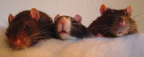 pet rat health, pet rat vet, pet rat vet care, pet rat neuter, about pet rats, pet rats, pet rat, rats, rat, fancy rats, fancy rat, ratties, rattie
