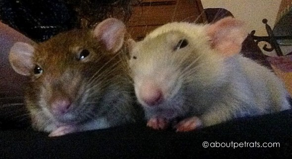 about pet rats, pet rats, pet rat, rats, rat, fancy rats, fancy rat, ratties, rattie, pet rat care, pet rat info, best pet, cute pets, pet rat companionship, pet rats need friends, pet rats need rat friends, always have two rats